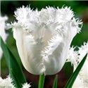 Тюльпан бахромчатый Honeymoon 2 луковицы