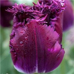 Тюльпан бахромчатый Lilac Christal 2 цибулини