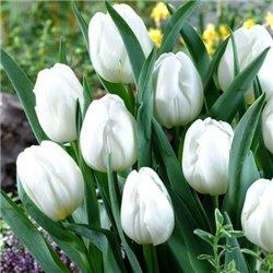 Тюльпан класичний тріумф Pim Fortuyn 2 цибулини