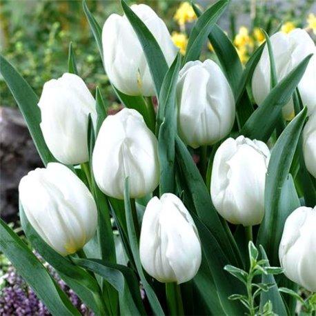 Тюльпан классический триумф Pim Fortuyn 2 луковицы