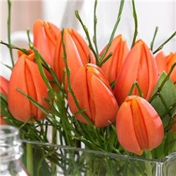 Тюльпан классический триумф Prinses Catharina-Amalia 2 луковицы