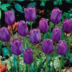 Тюльпан класичний тріумф Purple Flag 2 цибулини