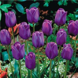 Тюльпан классический триумф Purple Flag 2 луковицы