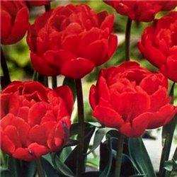 Тюльпан махровий Largo 2 цибулини