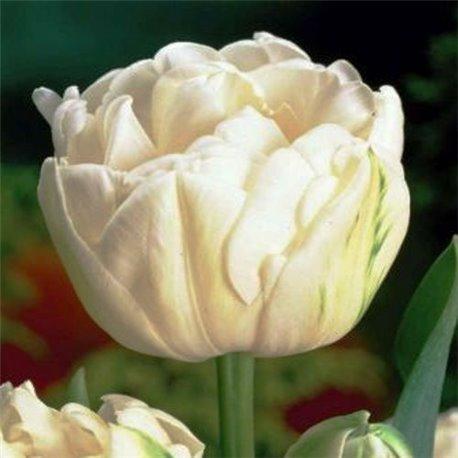Тюльпан махровый Mondial 2 луковицы