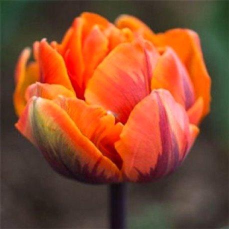 Тюльпан махровий Orca 2 цибулини