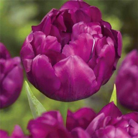 Тюльпан махровый Royal Acres 2 луковицы