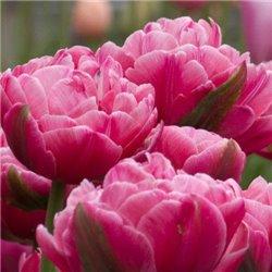 Тюльпан махровий Up Pink 2 цибулини
