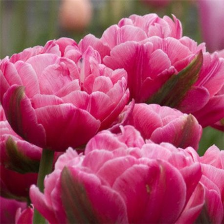 Тюльпан махровый Up Pink 2 луковицы