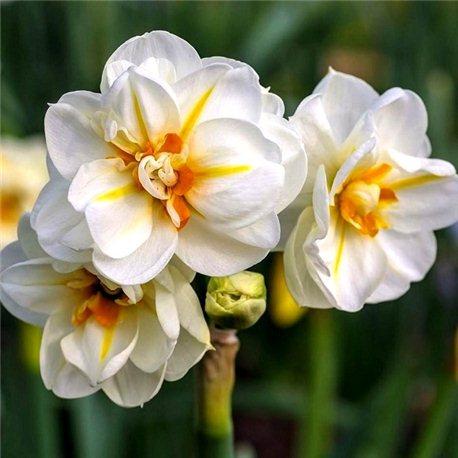 Нарцисс махровый многоцветковый Sir Winston Churchill 1 луковицa