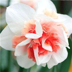 Нарцис махровий Rosy Cloud 1 цибулина