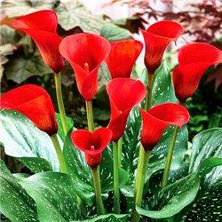 Калла Callafornia Red 1 клубень