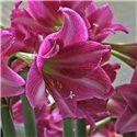 Гіпеаструм Amaryllis Estella Trumpet 1 цибулина