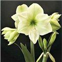 Гіпеаструм Amaryllis Luna Specials 1 цибулина