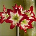 Гіпеаструм Amaryllis Tres Chic Specials 1 цибулина