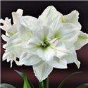 Гиппеаструм Amaryllis White Nymph Double 1 луковица