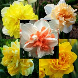 Нарцисс махровый микс (мелкая луковица 8 шт)
