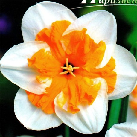 Нарцисс сплит-корона Parisienne (детка 50 грамм)