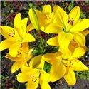 Лилия гибридная Yellow Diamond мелкая луков. 2 шт.
