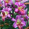 Лилия О.Т. гибрид Purple Lady мелкая луков. 2 шт.