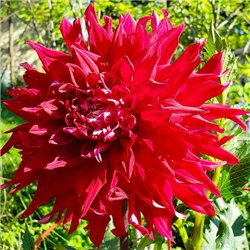 Георгина крупноцветковая декоративная Creve Coeur