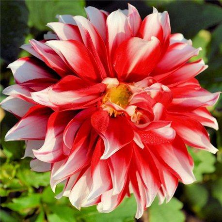 Георгина крупноцветковая декоративная Red Empire