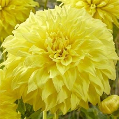 Георгина крупноцветковая декоративная Spartacus Yellow