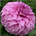 Георгина крупноцветковая декоративная Vassio Meggos