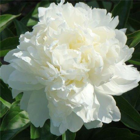 Пион травянистый Kelway's Glorious