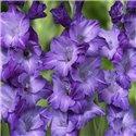 Гладиолус крупноцветковый Blue Tropic 5 луковиц