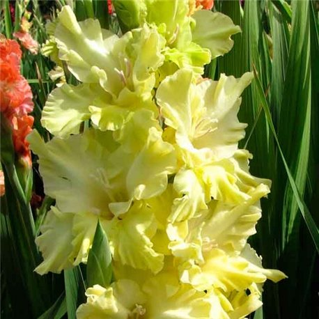 Гладиолус крупноцветковый Lemon Tree 5 луковиц