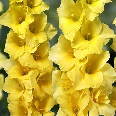 Гладиолус крупноцветковый Limoncello 5 луковиц