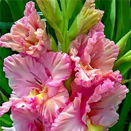 Гладиолус крупноцветковый Louise 5 луковиц