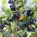 Арония черноплодная Викинг Aronia prunifolia 'Viking'