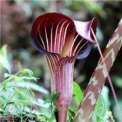 Аризема Arisaema Speciosum 1 луковица