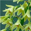 Галтония зеленая Galtonia Viridiflora 1 луковица