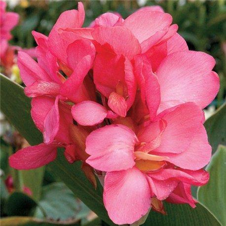 Канна горшочная Pink Beauty