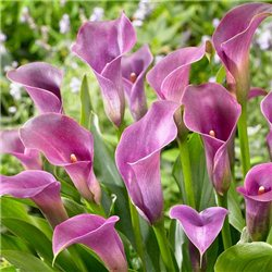 Калла Lavender Gem 1 клубень