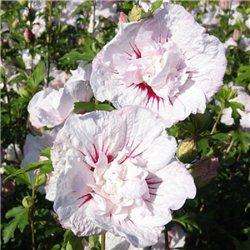 Гибискус махровый сирийский Hibiscus syr. China Chiffon