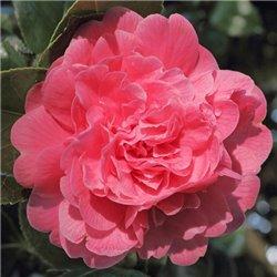 Камелія японська Camellia j. Triumphans
