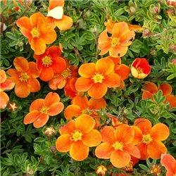 Лапчатка кустарниковая Potentilla f. Hopley's Orange