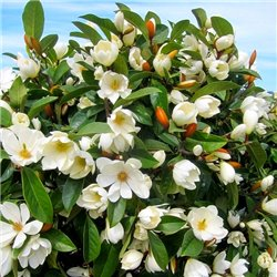 Магнолия новозеландская повторноцветущая Fairy White Blush