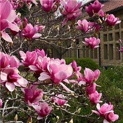 Магнолія Magnolia soulangeana