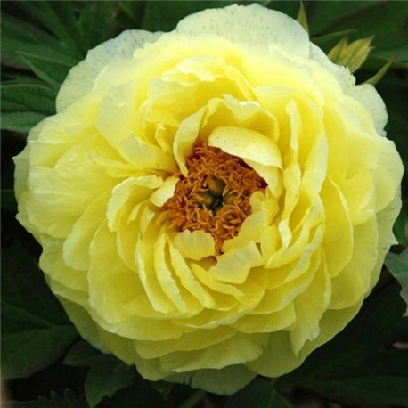 Пион древовидный Paeonia suffr. yellow