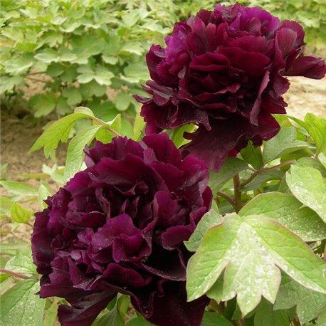 Пион древовидный Paeonia suffr. black