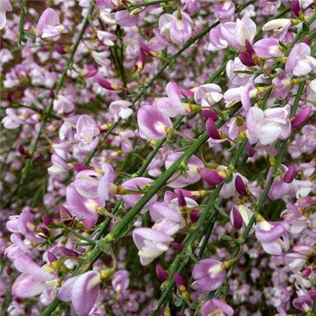 Ракитник ранний Cytisus Moyclare Pink