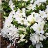 Рододендрон White Surprise