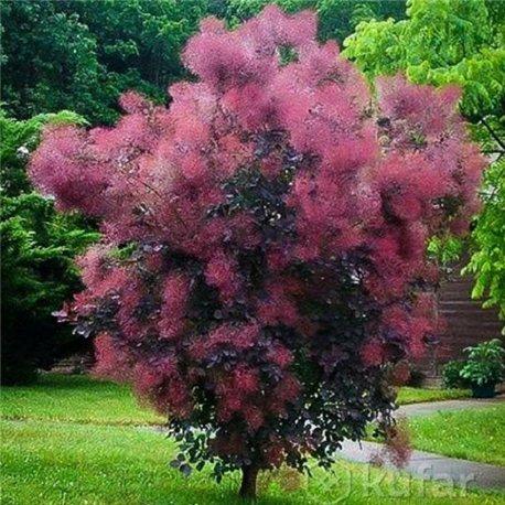 Скумпия кожевенная Cotinus coggygria Royal Purple