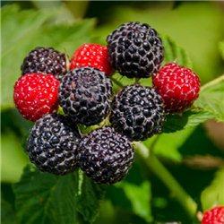 Малина чорна Rubus idaeus Black Jewel