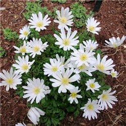 Анемона Blanda White Sprlendourr 10 клубней